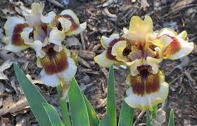 Zing Me Photo Of The Bloom Of Intermediate Bearded Iris Iris Zing