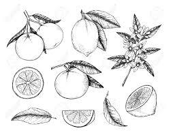 手書きのベクトル イラスト コレクションのレモンとオレンジ柑橘類と分岐します葉と開花植物グリー