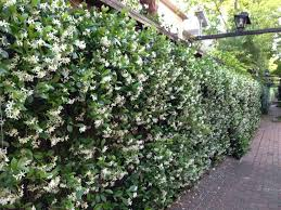 24 Best Vines For Containers  Climbing Plants For Pots  Balcony Wall Climbing Plants Nz