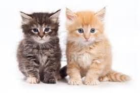 pitchers of baby kittens keywords suggestions pitchers of