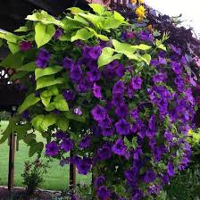 sweet potato plant flower. Modren Potato Petunias U0026 Sweet Potato Vine Vine Planters Intended Plant Flower N