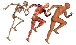 Image result for musculoskeletal system images