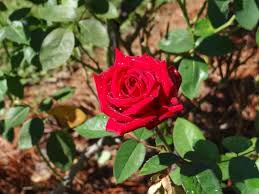 the tyler munil rose garden is the largest munil rose garden in the country