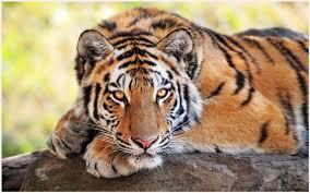 tiger wallpaper hd tiger wallpaper hd tiger wallpaper hd 1080p tiger wallpaper hd