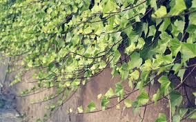 ClimbersClimbing Plants From Buckingham NurseriesClimbing Plants That Like Shade