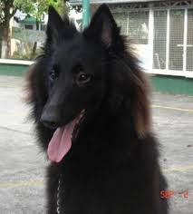 close up the front left side of a black belgian sheepdog that is sitting on