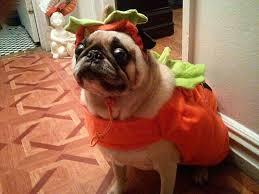 pug in pumpkin costume. Modren Costume Download Throughout Pug In Pumpkin Costume P