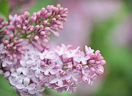 Wallpaper Bunga Bunga Cantik Ungu Harum Lilac Selamat