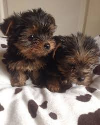 cute yorkie puppies for sale. Fine For Image 1 Of On Cute Yorkie Puppies For Sale A