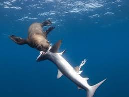 shark. Contemporary Shark A Cape Fur Seal Digs In To A Blue Shark Chris Fallows On Shark