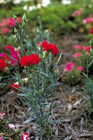 How to Grow Carnations (with Pictures)