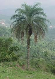 Resultado de imagem para dna cariótipo macaúba