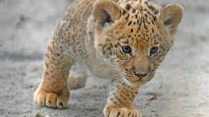cute baby liger. Modren Liger With Cute Baby Liger S