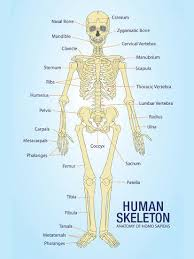 Human Bone Chart Human Skeleton Anatomy Anatomical Chart Poster Print