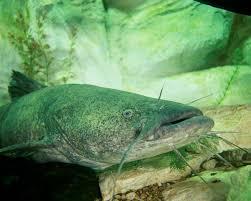 flathead catfish wallpaper. Simple Catfish In Flathead Catfish Wallpaper F