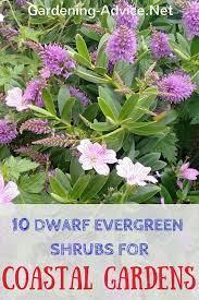 dwarf evergreen shrubs coastal gardens
