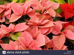Premium Lippenstift Rosa Weihnachtsstern Stockfoto Bild