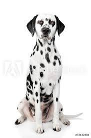 Fotografie Obraz Dalmatian Dog Portrait Posterscz