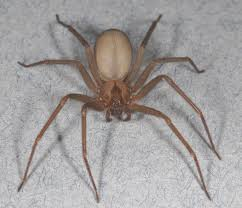 Brown Recluse Pest Management Tips For The Spider Thats Not As