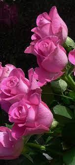 Pink roses, flowers, black background ...