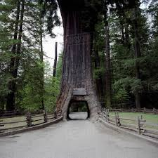 the chandelier tree a redwood tree cars can drive through leggett california usa