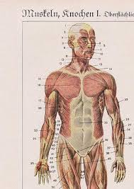 Muscles And Bones Anatomy Chart