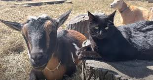 Protective Cat Watches Over Expectant Goat Mamas In Maine