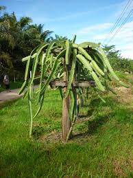 How To Build A Dragon Fruit Pitaya TrellisDragon Fruit On Tree