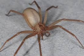 Spider Identification Chart Arkansas Why You Need Not Fear The Poor Misunderstood Brown Recluse