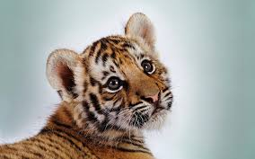 cute baby tigers wallpapers.  Wallpapers Cute Baby Tiger Wallpaper To Cute Baby Tigers Wallpapers T