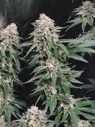 Original Sensi - Jack Herer Grow - Overgrow.com