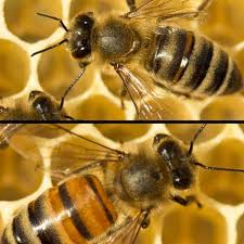 Queen Bee Colour Chart Choosing The Best Types Of Honey Bees Carolina Honeybees