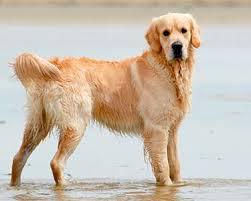 English Golden Retriever Weight Chart Golden Retriever Dog Breeds Purina Australia
