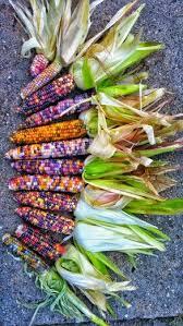 aztec corn glass gem corn from my garden ve able gardening