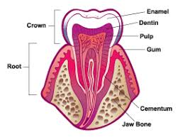 What Age Do Kids Lose Teeth Chart Your Teeth For Kids Nemours Kidshealth