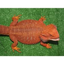 baby bearded dragons for