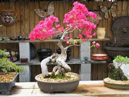 bonsai gardens. Bonsai Bougainvillea In Bloom Gardens