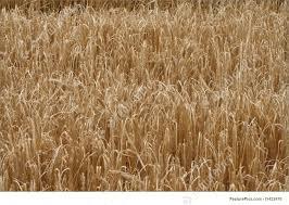 dry grass field background. Dry Grass Field Background I