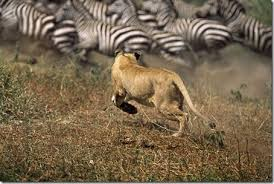 lioness hunting zebra. Wonderful Zebra Lioness Hunting Zebras On Lioness Hunting Zebra E