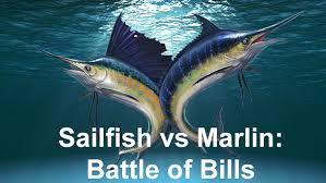 Sailfish Size Chart Sailfish Vs Marlin The Battle Of The Bills