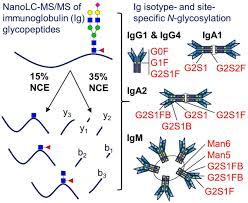 Multi Isotype Glycoproteomic Characterization Of Serum