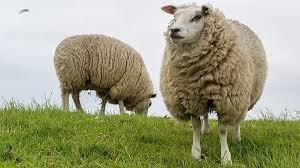Afbeeldingsresultaat voor schapen