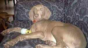 the back left side of a weimaraner dog that is laying on a blue print couch