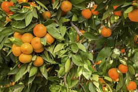 How To Make A Calamansi Tree Give Fruit Home Guides Sf Gate