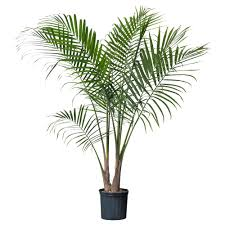 RAVENEA Potted plant - IKEA. At least 2 potted palm plants, perhaps 4 or