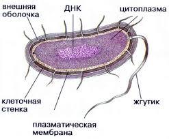 Реферат Строение эукариотической и прокариотической клеток  Только некоторые органеллы прокариотической клетки гомологичны соответствующим органеллам эукариот Для прокариот характерно наличие муреинового мешка