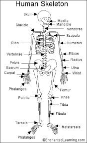 skeleton diagram labeled   aof comhuman skeleton printout enchantedlearning