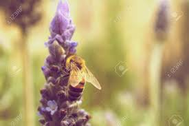 summer outdoors wallpaper. Vintage Bee On Lavender Outdoors Wallpaper Background Summer Spring Season Stock Photo - 8018291 N