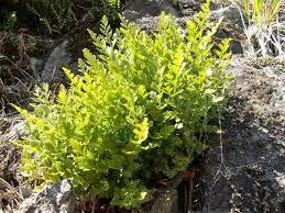 Asplenium cuneifolium - Wikispecies