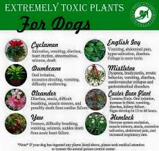 poisonous plants for dogs 25 best pets more images on plants balcony and